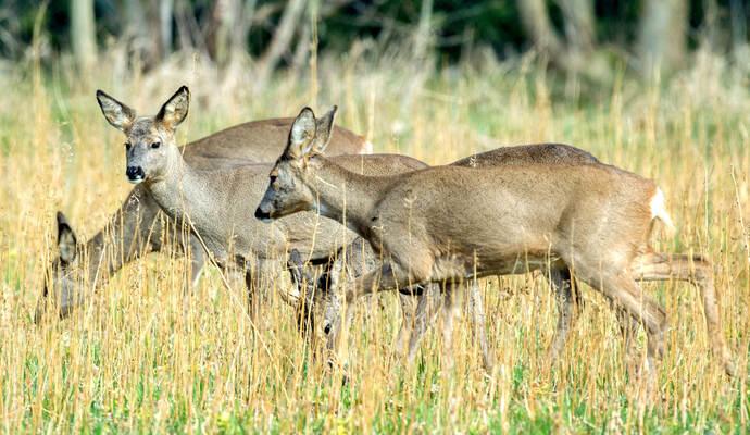 Feldzug Gegen Das Reh Oder Normaler Jagddruck Ispringen