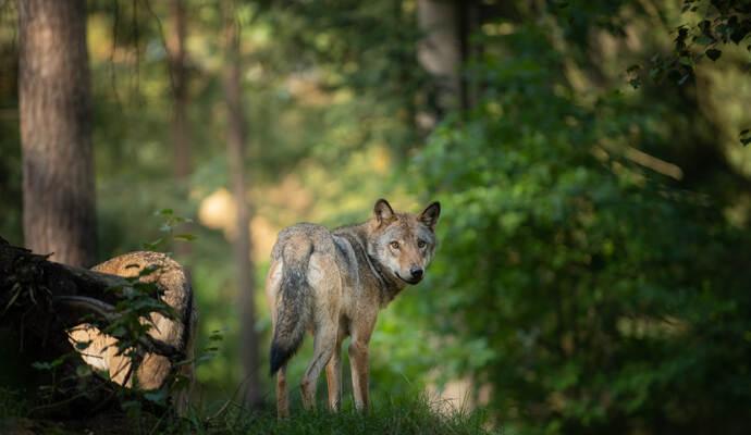 Wolf Im Schwarzwald